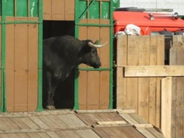 Transporte de toros - Transportes Marce
